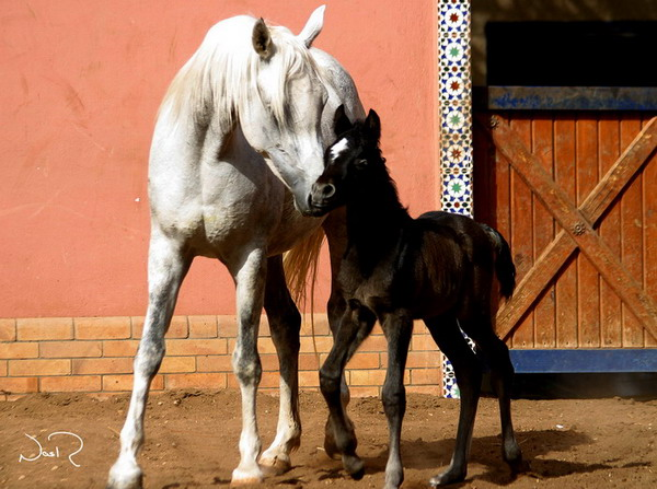 تزاوج الخيول العربية