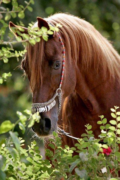 Arabian Horse Images الخيل العرب�...